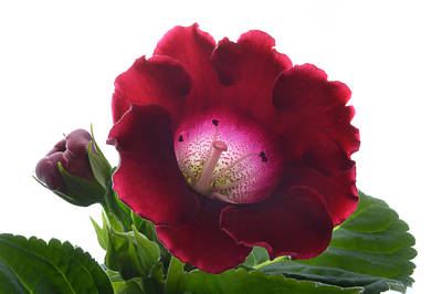 Gloxinias Photograph - Red Gloxinia. by Terence Davis