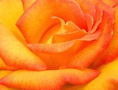 Floribunda Photograph - Red Gold Rose by Will Borden