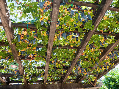Bunch Of Grapes Photograph - Red Grapes Hanging From A Trellis Napa Valley California by George Oze