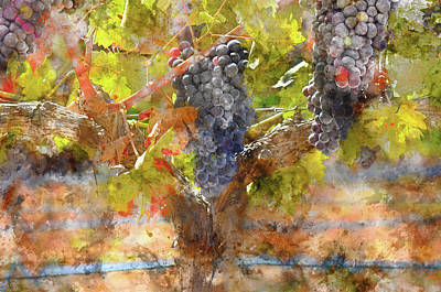 Photograph - Red Grapes On The Vine During The Fall Season by Brandon Bourdages