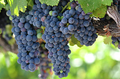 Vino Photograph - Red Grapes On The Vine In Napa Valley by Brandon Bourdages