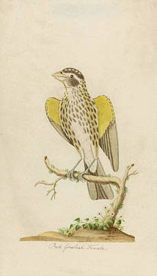 Drawing - Red Grosbeak Female by John Abbot