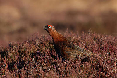 Photograph - Red Grouse Calling by Peter Walkden