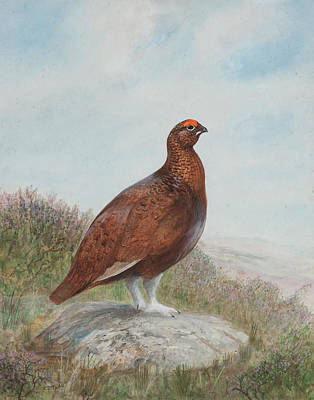 Peregrine Painting - Red Grouse by Charles Stanley Todd