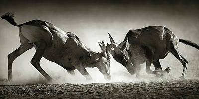 Royalty-Free and Rights-Managed Images - Red hartebeest dual in dust by Johan Swanepoel