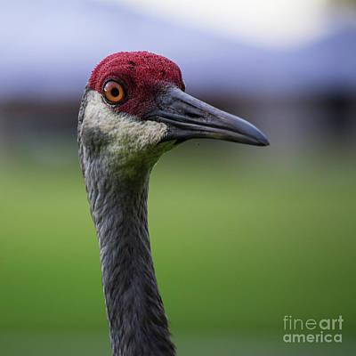 Red Head Bird Art Print