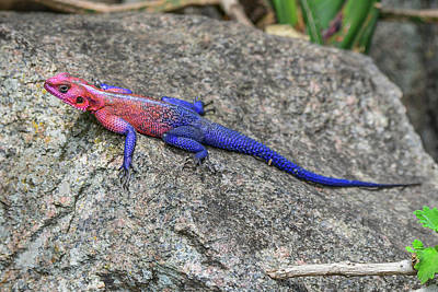 Photograph - Red-headed Agama Lizard by Marilyn Burton
