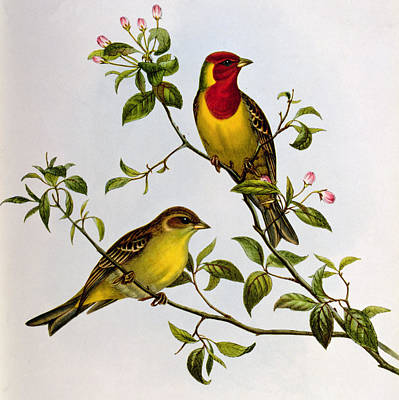 Pink Flower Branch Painting - Red Headed Bunting by John Gould