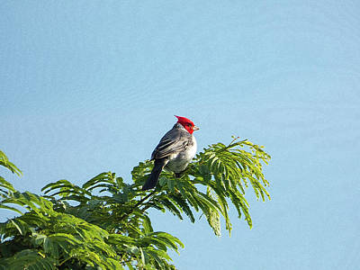 Red-headed Cardinal On A Branch Art Print
