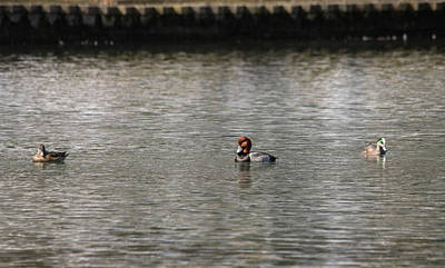 Photograph - Red-headed Duck And Friends by Bill Jordan