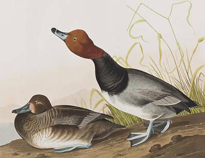 Red-headed Duck Art Print
