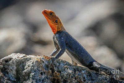 Photograph - Red Headed Lizard #1 by Tom Claud
