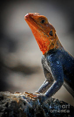 Photograph - Red Headed Lizard #2 by Tom Claud