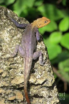 Photograph - Red-headed Rock Agama by Frank Townsley