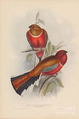 Painting - Red-headed Trogon by Celestial Images