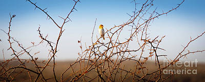 Guns Arms And Weapons - Red Headed Weaver Bird in Botswana Africa by THP Creative