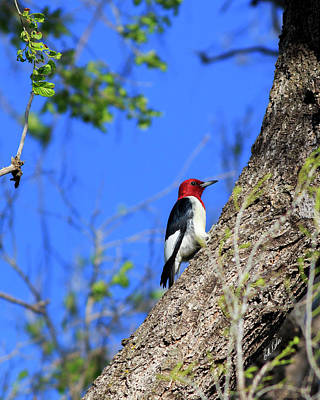 Photograph - Red-headed Woodpecker by Bill Kesler
