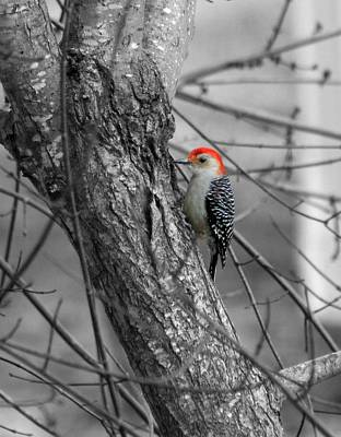 Photograph - Red Headed Woodpecker Colorized by David Dunham