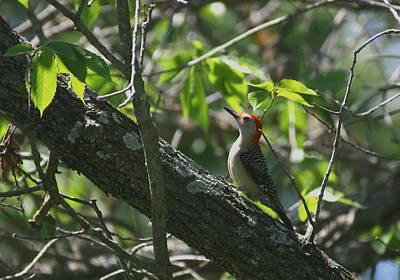 Photograph - Red Headed Woodpecker by David Dunham