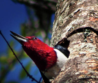 Photograph - Red Headed Woodpecker by Debra Forand