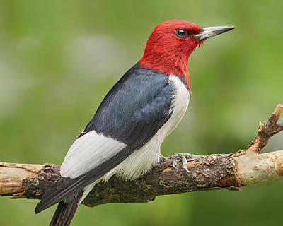 Photograph - Red-headed Woodpecker by Jim Hughes
