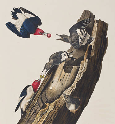 Feeding Young Painting - Red Headed Woodpecker by John James Audubon