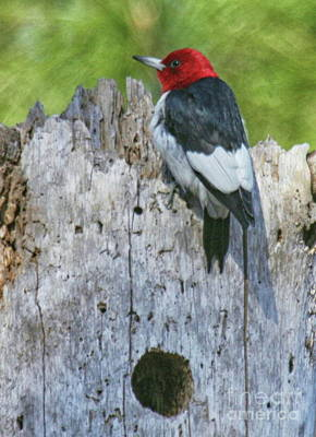 Photograph - Red-headed Woodpecker by Myrna Bradshaw