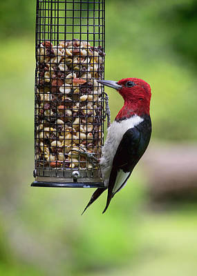 Photograph - Red-headed Woodpecker On Feeder by Ron Grafe