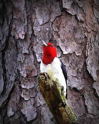 Photograph - Red-headed Woodpecker by Travis Truelove