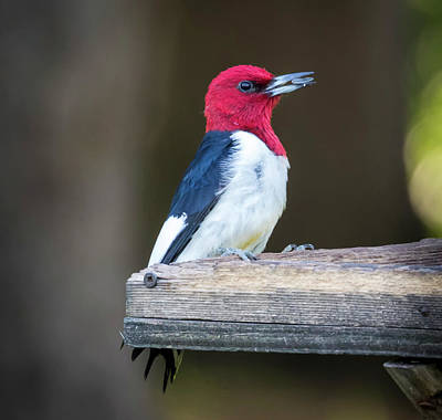 Photograph - Red-headed Woodpecker With Seed  by Ricky L Jones
