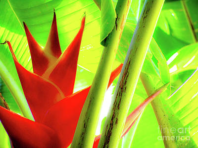 Photograph - Red Heliconia by D Davila