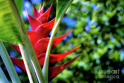 Photograph - Red Heliconia Hawaii by D Davila