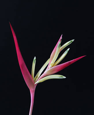 Studio Photograph - Red Heliconia by Lynn Berreitter