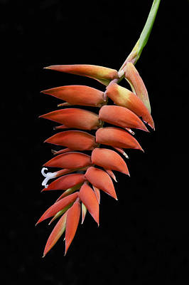 Photograph - Red Heliconia Tropical Flower by Ken Barrett