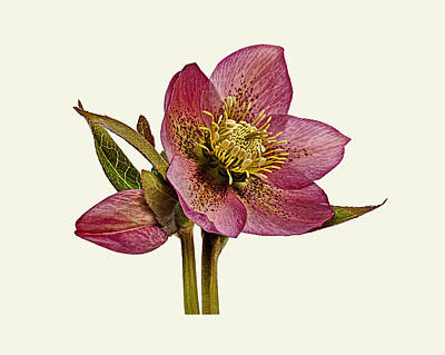 Photograph - Red Hellebore Cream Background by Paul Gulliver