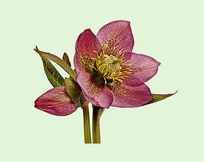 Photograph - Red Hellebore Green Background by Paul Gulliver