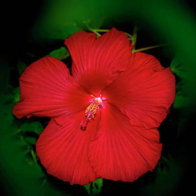 Photograph - Red Hibiscus 020 by George Bostian