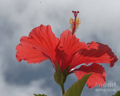 Photograph - Red Hibiscus 1 by Christy Garavetto