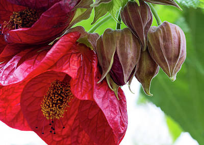 Photograph - Red Hibiscus And Buds by Shirley Mitchell