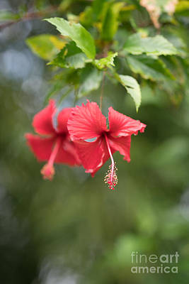 Photograph - Red Hibiscus Details by Mike Reid