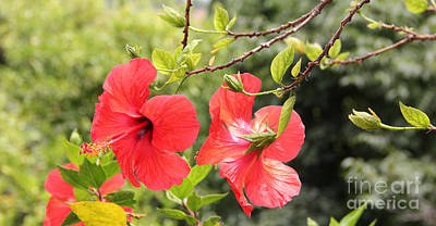 Photograph - Red Hibiscus Flowers by Jackie Mestrom