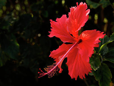 Photograph - Red Hibiscus  by Inge Riis McDonald