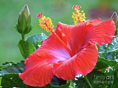 Photograph - Red Hibiscus by Jean Wright