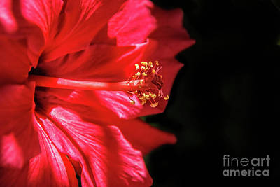 Photograph - Red Hibiscus Macro by Robert Bales