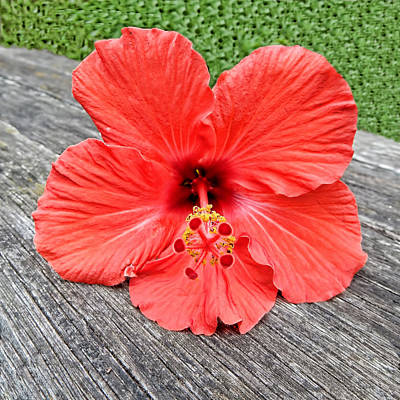 Mixed Media - Red Hibiscus by Pamela Walton