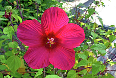 Photograph - Cranberry Hibiscus by Robert Brown