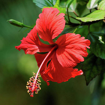 Photograph - Red Hibiscus by Robert Shard