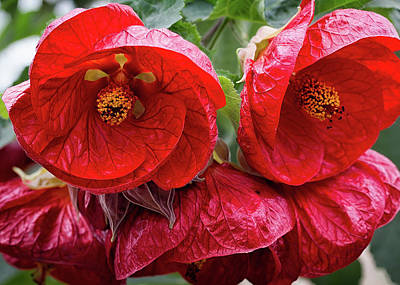 Photograph - Red Hibiscus by Shirley Mitchell