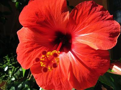 Floral Photograph - Red Hibiscus by Vesna Martinjak