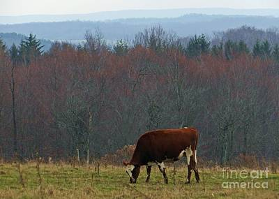 Photograph - Red Holstein Of The Hills by Christian Mattison